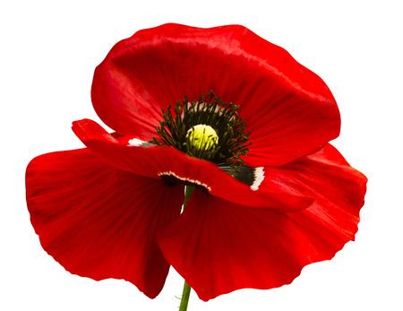 59917744 poppy red poppy isolated on white background red poppy beautiful single flower head red ranunculus i
